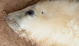 Grey Seal Pup IMG_8744.jpg