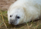 Grey Seal Pup IMG_8749.jpg