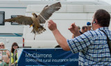 Peregrine Falcon at Driffield Show 2016 IMG_2996.jpg