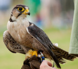 Peregrine Falcon at Driffield Show 2016 IMG_3005.jpg
