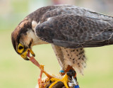 Peregrine Falcon at Driffield Show 2016 IMG_3006.jpg