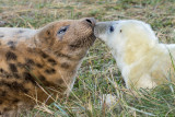 Donna Nook - Grey Seals IMG_6799.jpg