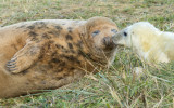 Donna Nook - Grey Seals IMG_6798.jpg