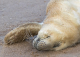 Donna Nook - Grey Seals IMG_6858.jpg