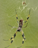 Golden Silk Orbweaver (Female)