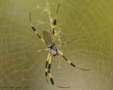 Golden Silk Orbweaver (Female)