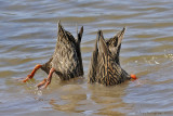 Mottled Ducks Dabbling