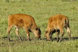 Young Bison Sparring