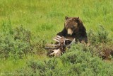 Grizzly Feeding on Bison Carcass
