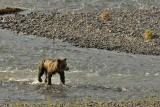Grizzly in the Lamar River