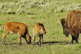 Bison Cow and Calves
