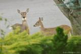 Resident White-tailed Deer