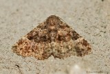 Common fungus Moth (Metalectra discalis) #8499 - 2013 July 13---0001.jpg