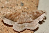 Curve-toothed Geometer (Eutrapela clemataria) #6966----2013-July-14---0079.jpg