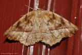 Curve-toothed-Geometer-(Eutrapela-clemetaria)---2013-July-15---0081.jpg