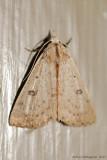 Dead-Wood Borer Moth