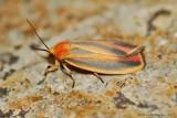Painted-Lichen-Moth-(Hypoprepia-fucosa)---2013-July-15---0088.jpg