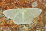 Wavy-lined-Emerald-(Synchlora-aerata)-2013 July 14 -0036.jpg