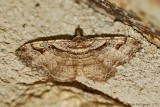 Bent-Line-Carpet-(Costaconvexa-centrostrigaria)---2013-July-20---0089.jpg