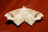Common-Angle-(Macaria-aemulataria)---2013-July-20---0091.jpg