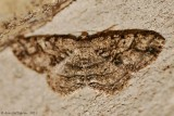 Canadian Melanolophia