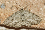 Small Engrailed (Ectropis crepuscularia) #6597 - ----2013-July-15---0092.jpg