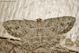 Small Engrailed
