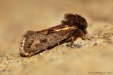 Clemen's Grass tubeworm Moth