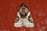 Pink-barred-Lithacodia---0121.jpg