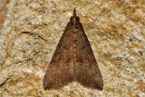Green-Cloverworm-(Hypena-scabra)---2013-27-July---_0187.jpg