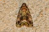 Small-Mossy-Glyph-(Lithacodia-musta)---2013-July-27---#9051---0193.jpg