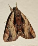 Ultronia-Underwing-(Catocala-ultronia)-#8857--_0211.jpg