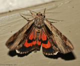 Ultronia-Underwing-(Catocala-ultronia)-#8857--_0212.jpg