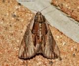 Ultronia-Underwing-(Catocala-ultronia)---2013-July-30---#8857--_0025.jpg