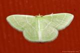 Wavy-lined-Emerald-(Synchlora-aerata)-2013-July-27--0197.jpg