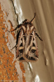 Dingy-cutworm--Feltia-jaculifera---0132.jpg