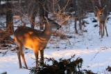 White-tailed Doe & Fawn