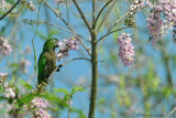Olive-throated-Parakeet-(Aratinga-nana)---5488.jpg