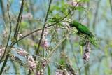 Olive-throated-Parakeet-(Aratinga-nana)---5500.jpg