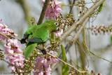 Olive-throated-Parakeet-(Aratinga-nana)---5502.jpg