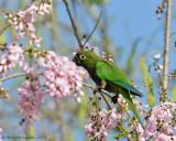 Olive-throated-Parakeet-(Aratinga-nana)---5505.jpg