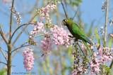 Olive-throated-Parakeet-(Aratinga-nana)---5509.jpg