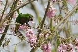 Olive-throated-Parakeet-(Aratinga-nana)---5511.jpg