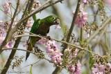 Olive-throated-Parakeet-(Aratinga-nana)---5512.jpg