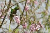 Olive-throated-Parakeet-(Aratinga-nana)---5514.jpg