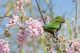 Olive-throated-Parakeet-(Aratinga-nana)---5518.jpg