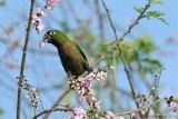 Olive-throated-Parakeet-(Aratinga-nana)---5534.jpg