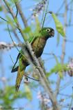 Olive-throated-Parakeet-(Aratinga-nana)---5544.jpg