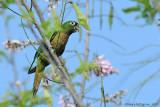 Olive-throated-Parakeet-(Aratinga-nana)---5548.jpg