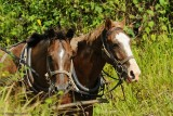 Amish Horses Going to Market